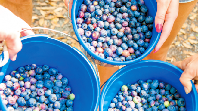 people hold freshly picked blueberries in big blue bowls